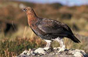 Grouse-Highland-Safaris